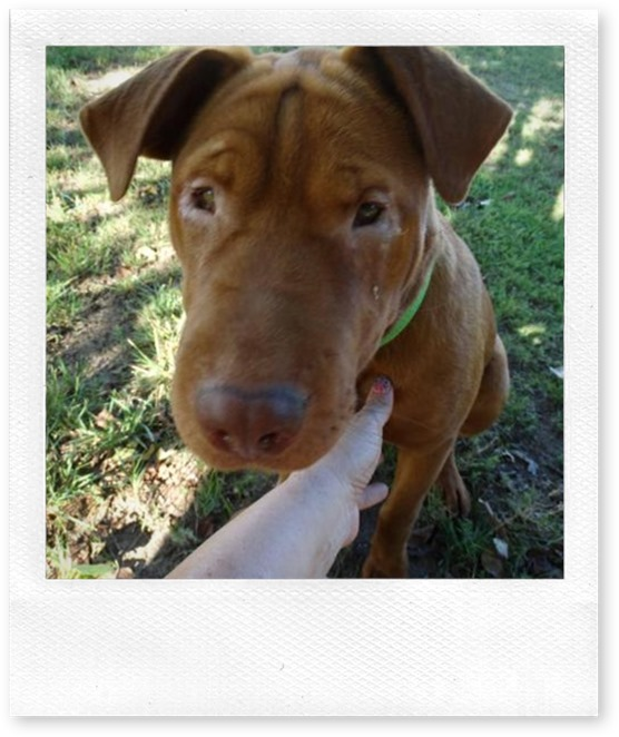 download Lucy 2015 Oct 26 shar pei mix