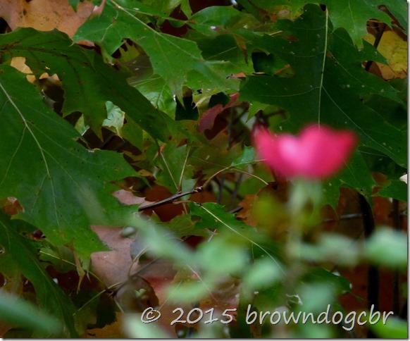 Summer Rose in Autumn