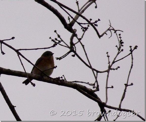 Blue bird over the marsh
