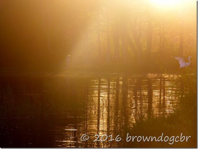 Egret in morning light