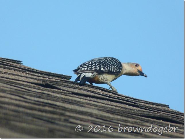 Red belly woodpecker