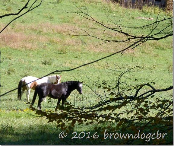 Horses watch