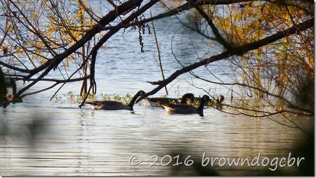 Geese in December