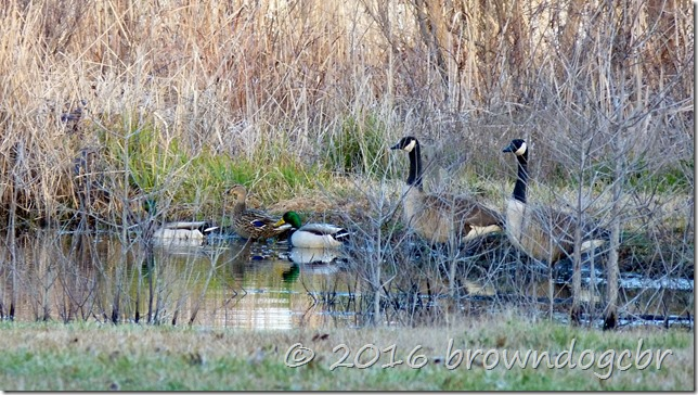 The 3 Mallards have been together for several years...always a threesome.
