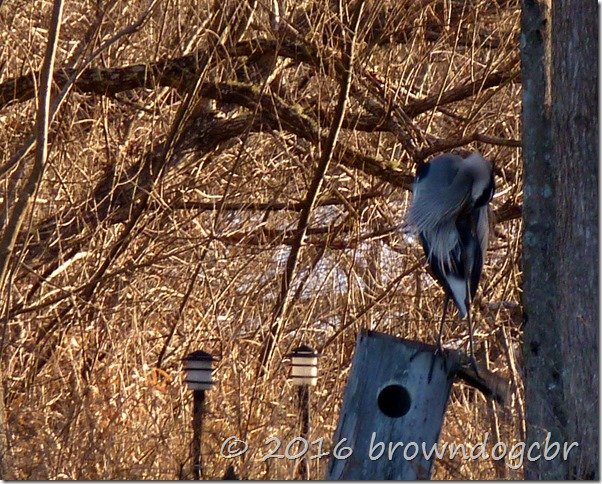 Great Blue and interesting tree branches