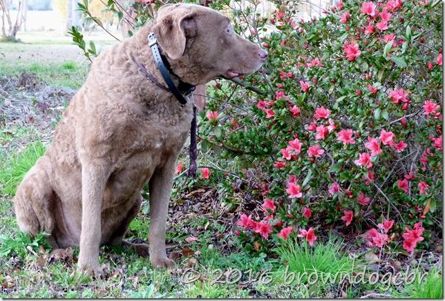 Aren't the azalea's beautiful?