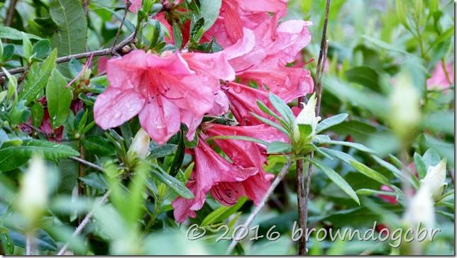 Azalea blooms early morn