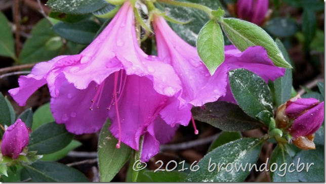 dew on azalea blooms