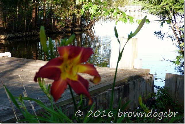 Daylillies stand guard at the dock