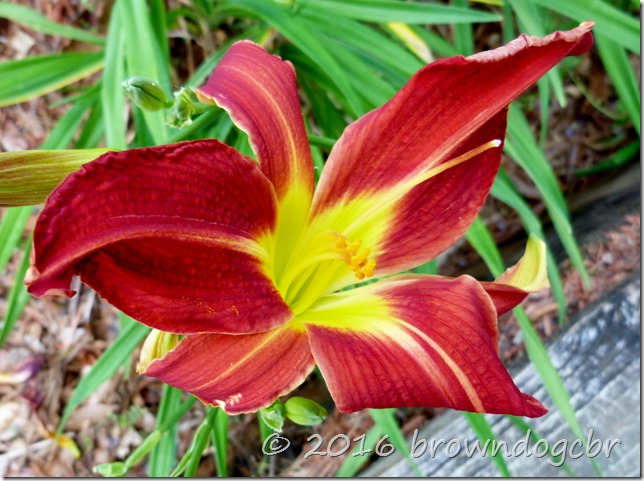 Daylily brightens the day