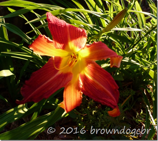 And the ever present daylillies