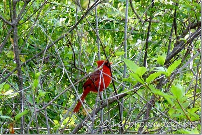 The ever present cardinal