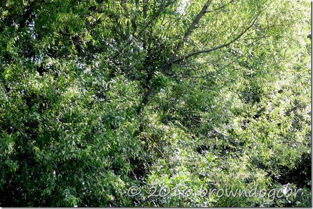 Cotton woods