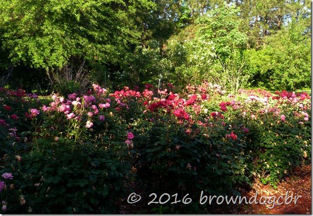 rose garden oleander and myrtle blooming