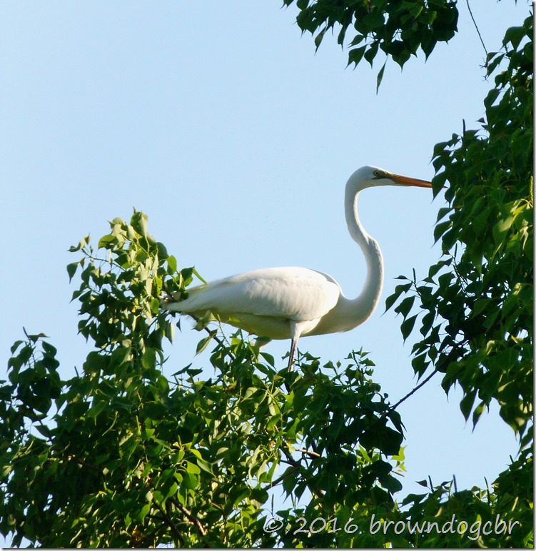 Great Egret yellow orange beak, black legs.