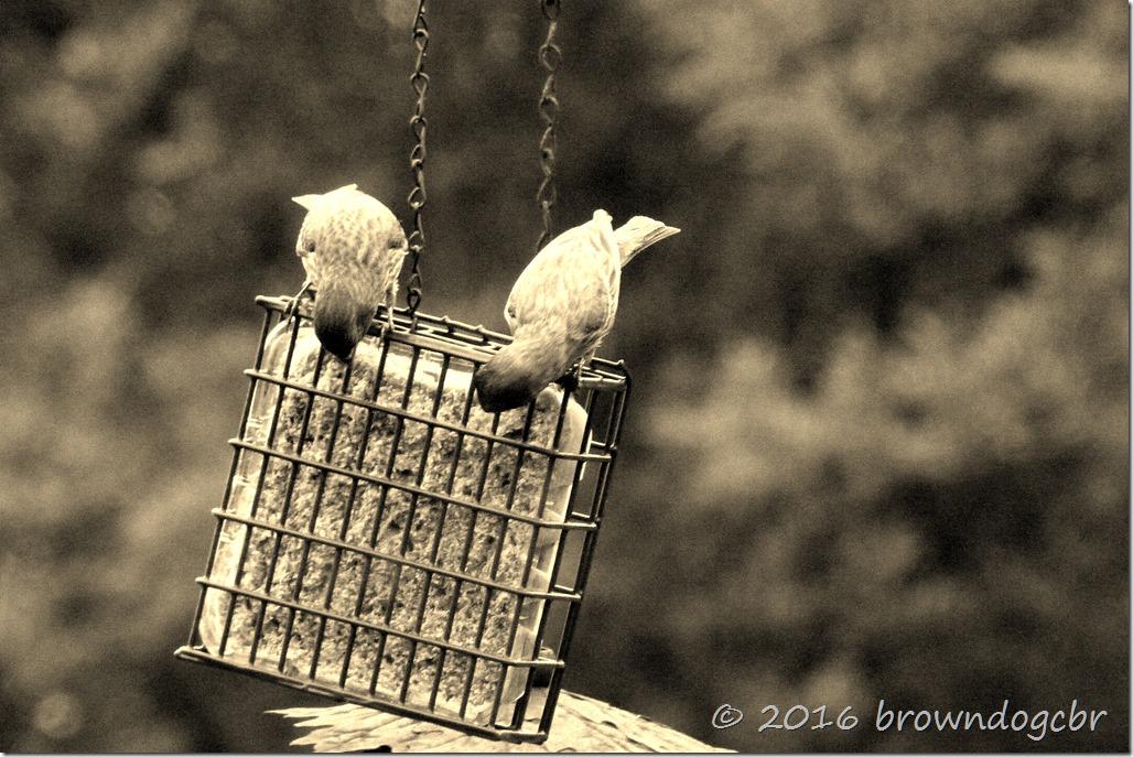 finch pair