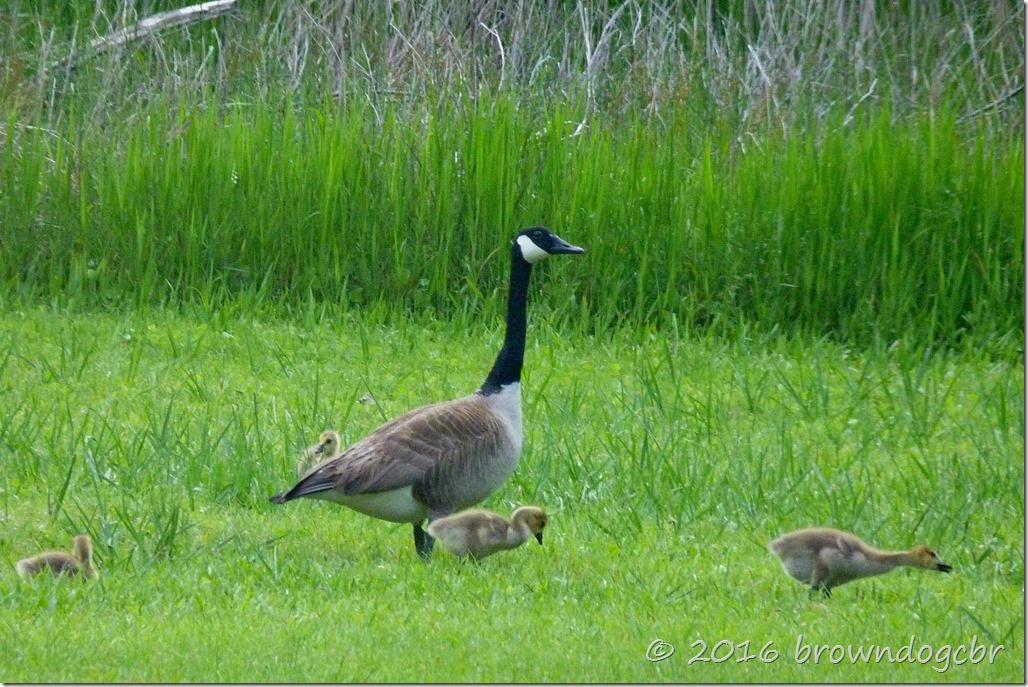 Geese and gooslings