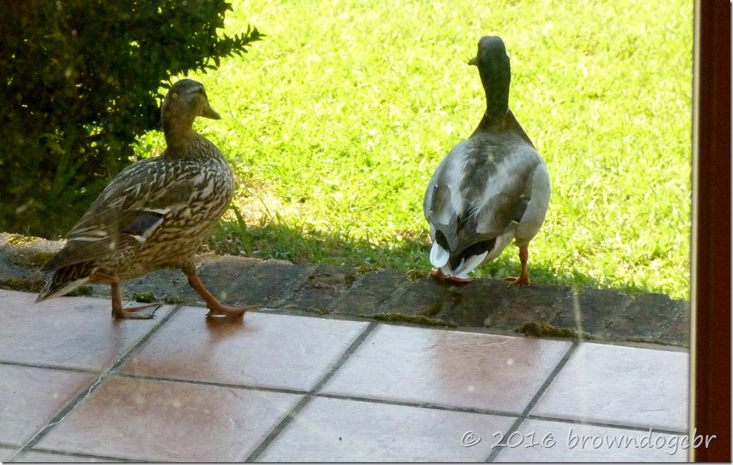 Mallard pair...daily visitors