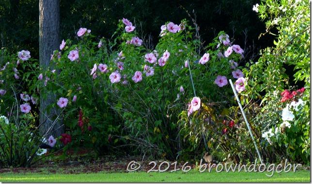 hybiscus garden