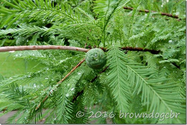 raindrops on cypress tree