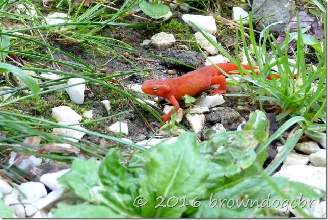 Orange lizard?