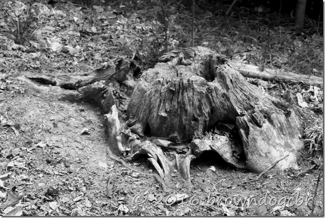 dying tree stump